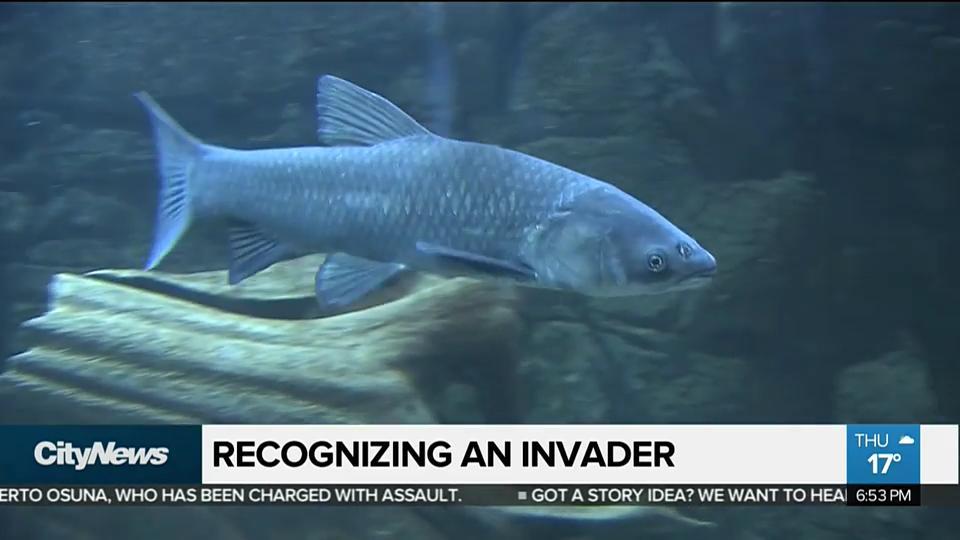 Harmful asian carp why are